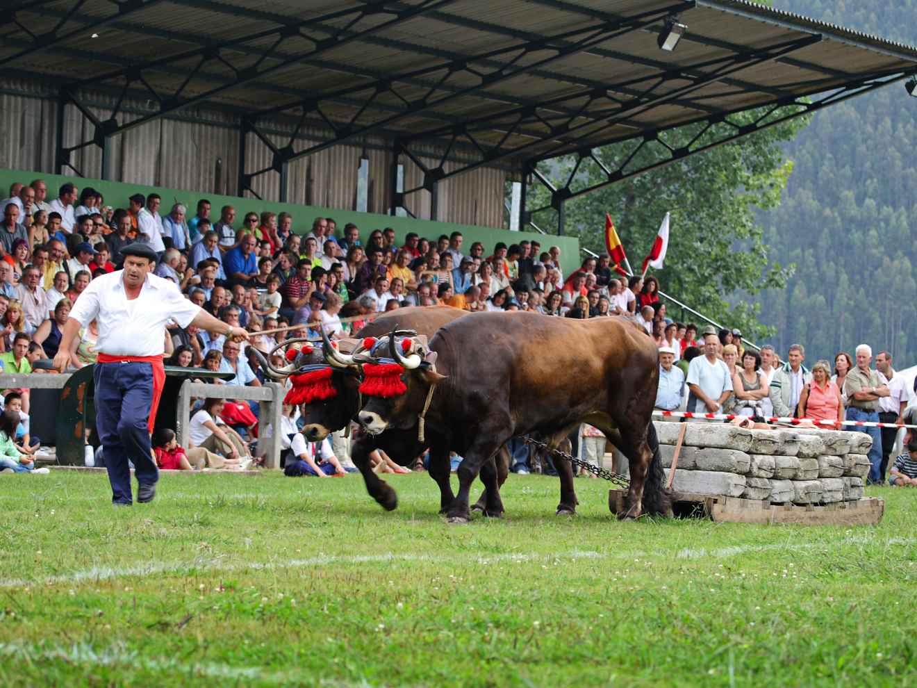 Arrastre con bueyes el Día de Cantabria