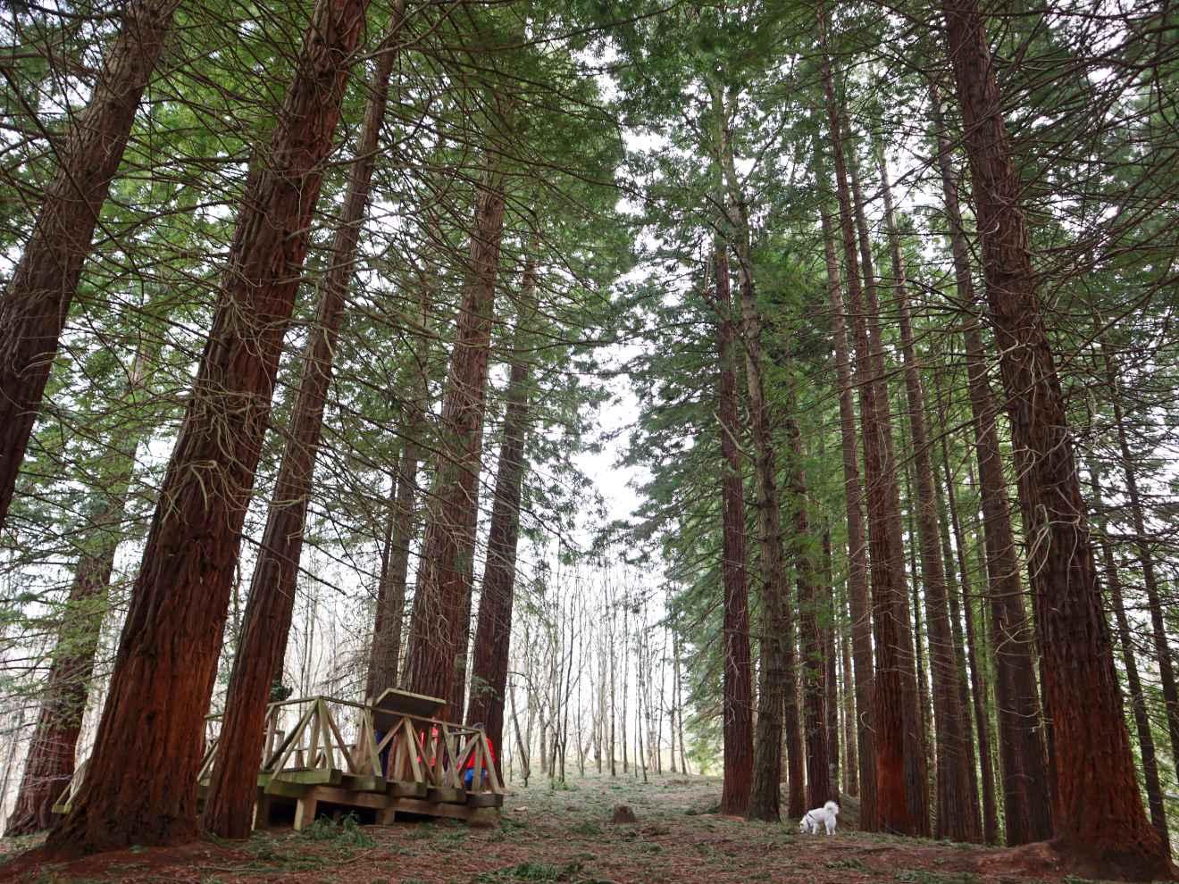 Final de la pasarela en el Bosque de Secuoyas