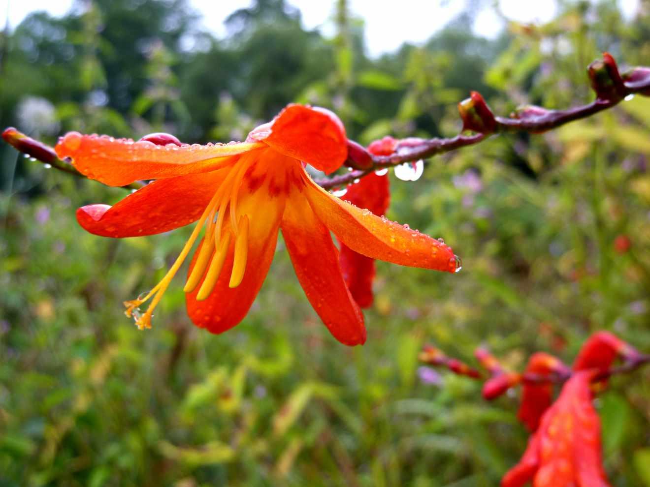Vara de Santa Teresa (Crocosmia crocosmiflora)