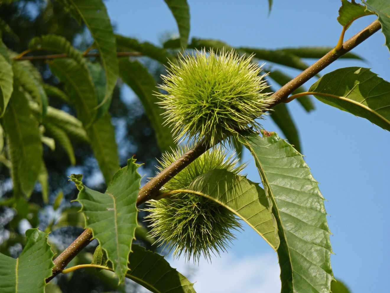 Fruto del castaño (Castanea sativa)